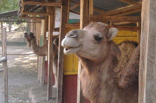 Article : Le destin des chameaux de kadhafi