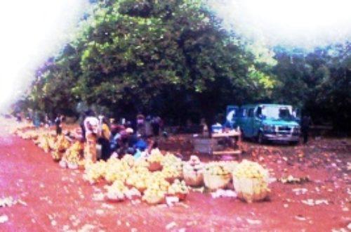 Article : Nécessité d'une usine de transformation de mangues au Mali