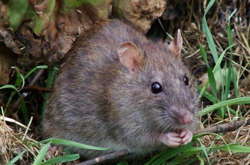 Article : La chasse au rat