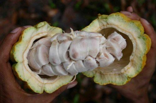 Article : Après les banques…le cacao !