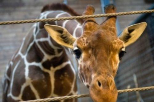 Article : Des larmes de crocodile pour Marius le girafon
