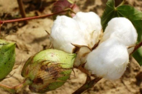 Article : Le coton africain face au réchauffement climatique