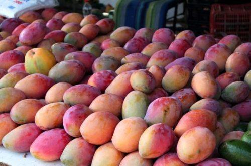 Article : Lettre d'un manguier aux Guinéens : consommez nos fruits à bon escient