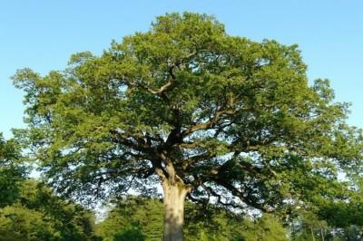 Un immense chêne aux branches noueuses, aux racines profondément enfouies dans le sol
