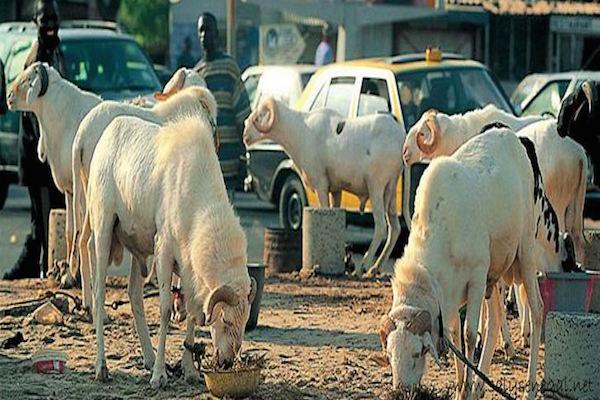 Moutons Tabaski Sénégal