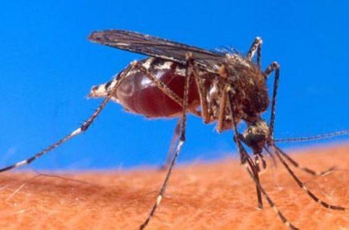 Article : Le pouvoir mauritanien a perdu la guerre contre les moustiques