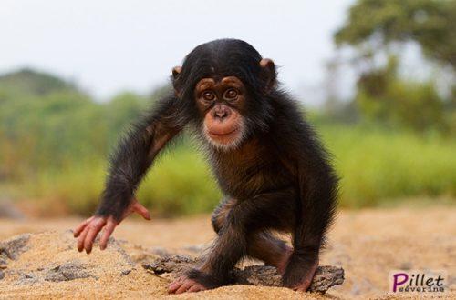 Article : Trafic de chimpanzés : un autre coup de filet des autorités de Boké !