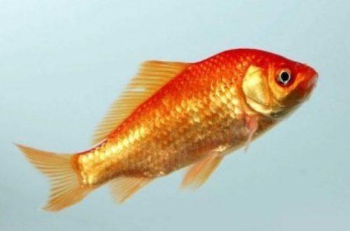 Article : Parce que même les poissons rouges ont une mémoire