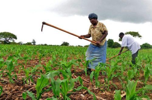 Article : Agriculture : l'Afrique revendique toujours son « droit à la paresse  »
