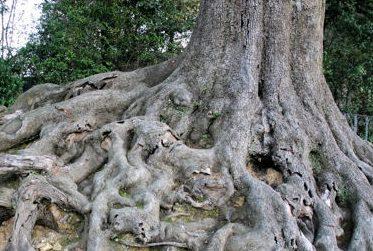 arbre-aux-larges-racines-279309
