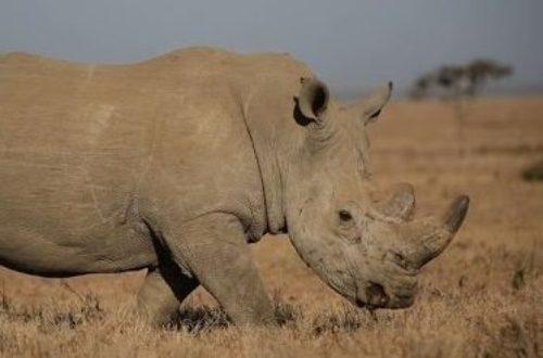 Article : Côte d'Ivoire : les rhinocéros de la Réserve de Faune d'Abokouamékro en danger (2)