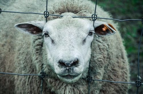 Article : Communiqué du collectif des Moutons après la fête de Tabaski.