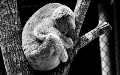 Un koalah dort