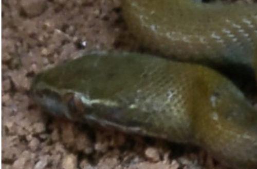 Article : Un serpent familier