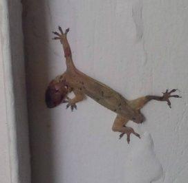 le gecko de Georges