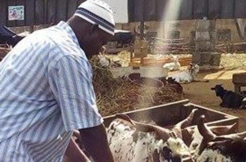 Article : Le marché de bétail d'Abobo, un business tentaculaire