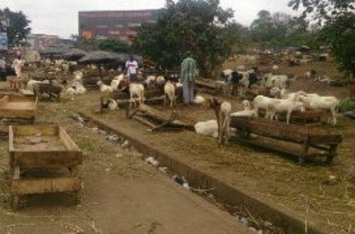Article : Abidjan : les parcs à bétail de la Tabaski et leur cortège de pollution