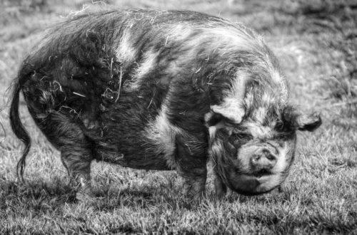 Article : Défends ton porc