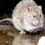 communique-rat-madagascar