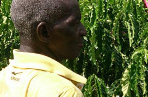 Article : La culture de café reprend des couleurs en Côte d'Ivoire