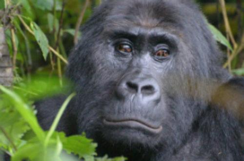 Article : Le Rwanda, pays des mille gorilles (Voyage au Rwanda – Partie 5)