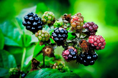 mures-fruits-rouges-branche-feuilles