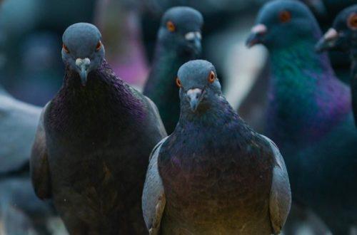 Article : Des banques et des pigeons…