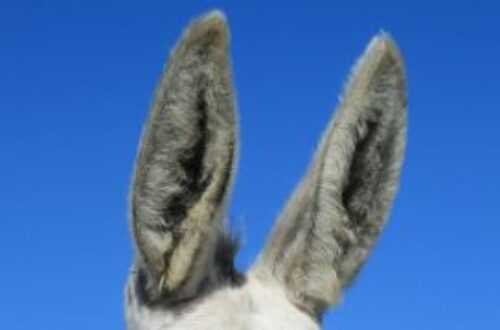 Article : Arrêtez d'introduire des cotons-tiges dans vos oreilles !