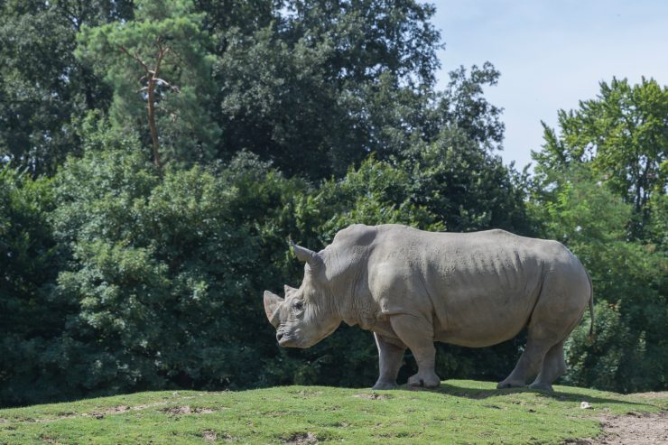 rhinoceros-blanc-tinder-cas-desesperes