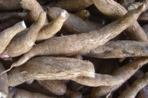Article : La cassave : une galette très populaire en Haïti