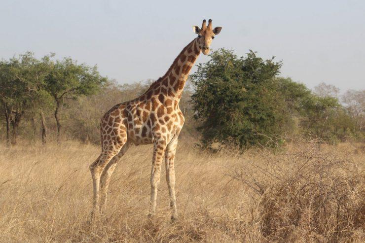 visite-parc-national-zakouma-girafe