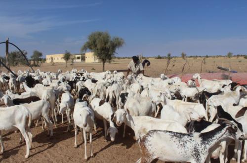 Article : Mauritanie : des haltes providentielles construites pour les éleveurs, convoyeurs et animaux