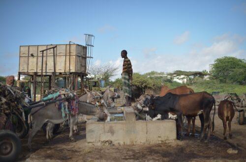 Article : La bouse de vache : un trésor pastoral riche de vertus