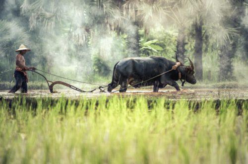 Article : Tchad : les conflits agriculteurs-éleveurs, une autre crise en milieu rural