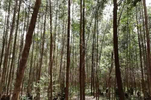 Article : RDC-Bois : l'eucalyptus, une alternative pour la préservation des forêts au Kivu ? (Partie 1)