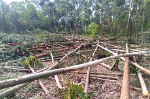 Article : RDC-Bois : l'eucalyptus, une alternative pour la préservation des forêts au Kivu ? (Partie 3)